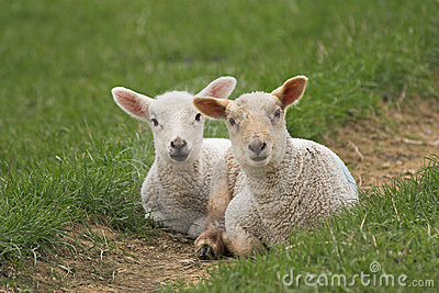 A pair of newborn lambs