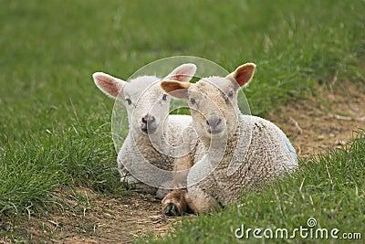 A pair of newborn lambs