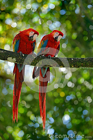 Free Pair Of Big Parrot Scarlet Macaw, Ara Macao, Two Birds Sitting On Branch, Costa Rica. Wildlife Love Scene From Tropic Forest Natur Stock Photography - 84781962
