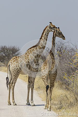 Free Pair Of Giraffe On Gravel Roa, Etosha National Park, Namibia Royalty Free Stock Photo - 59238535