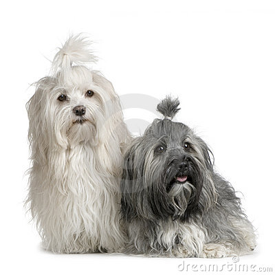 Free Pair Of Havanese Dog Royalty Free Stock Photo - 2274895