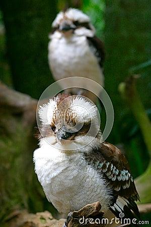 Free Pair Of Kookaburras Royalty Free Stock Images - 1687079