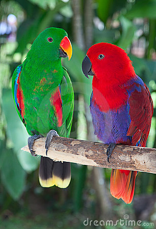 Free Pair Of Lori Parrots Royalty Free Stock Image - 20727476
