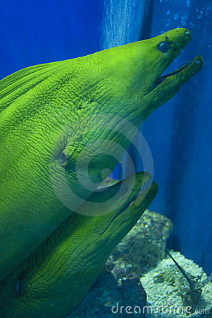 Free Pair Of Moray Eels Royalty Free Stock Photography - 8885887