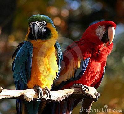Free Pair Of Parrots Royalty Free Stock Photos - 51788