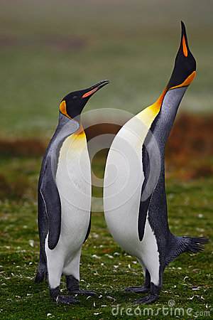 Free Pair Of Penguins. Small And Big Bird. Male And Female Of Penguin. King Penguin Couple Cuddling In Wild Nature With Green Backgroun Royalty Free Stock Image - 75945116