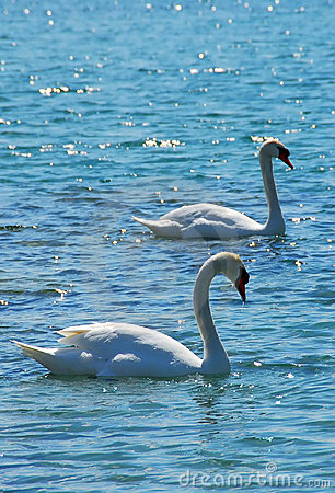 Free Pair Of Swans Royalty Free Stock Photos - 909578