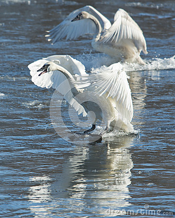 Free Pair Of Swans Landing Stock Image - 29905201