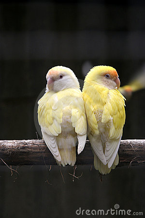 Free Pair Of Yellow Birds Royalty Free Stock Photo - 4728705