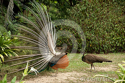 Pair of peacocks .
