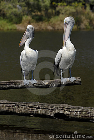 Pair of pelicans by lake