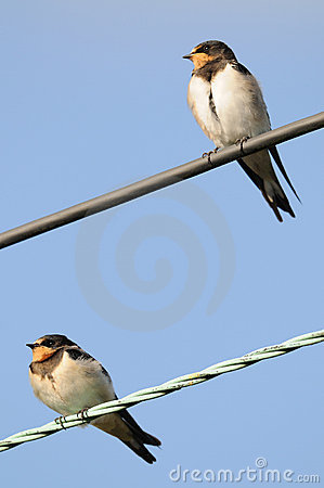 Pair of perched juvenile Barn Swallows