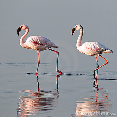 A pair of pink flamingos walk on water