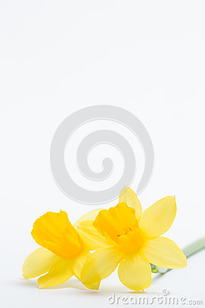 Pair of pretty yellow daffodils with copy space