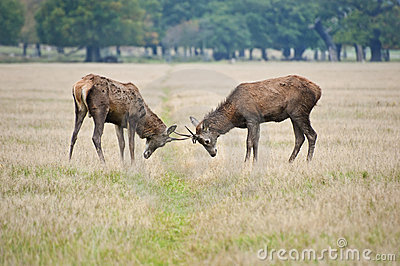 Pair of red deer stags jousting in Autumn Fall