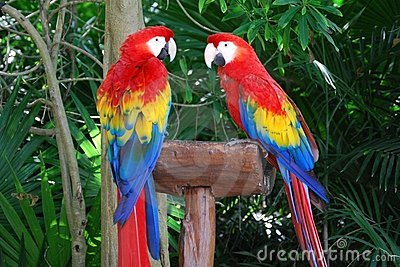Pair Of Scarlet Macaws Stock Images - Image: 7948114