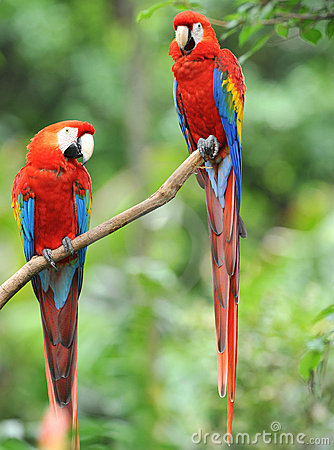 Pair of scarlet macaws in tree, costa rica