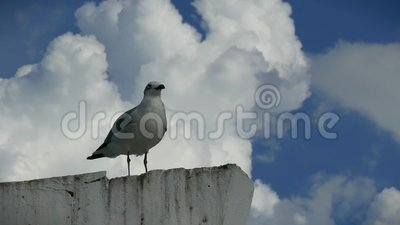 Pair of Seagulls on a pylon in Campeche Mexico stock video