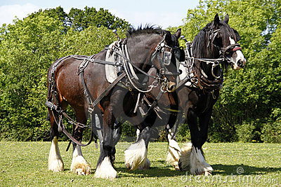 Pair of Shire Horses Working