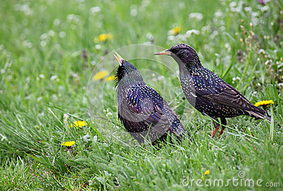 Pair of starlings