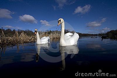 A pair of swans a