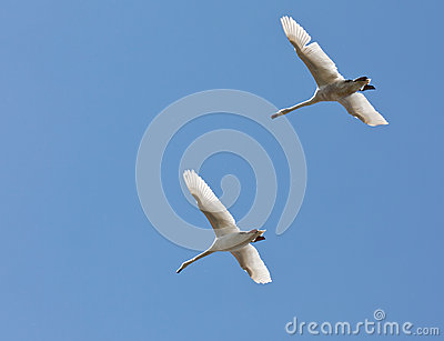 А pair of swans flying in the blue sky