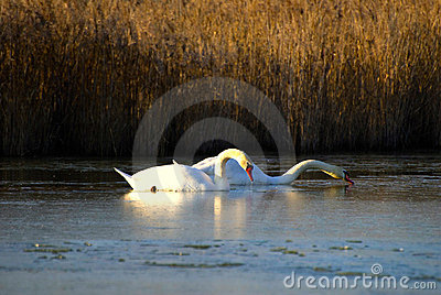 A pair of swans in a lake