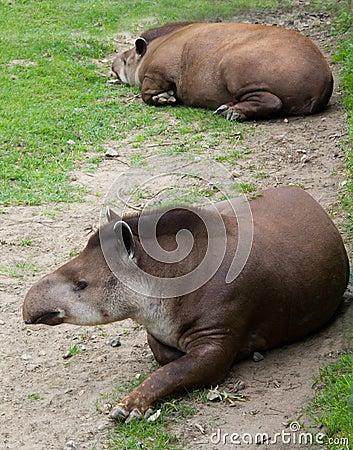 Pair tapir