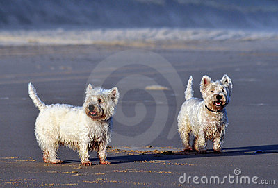 Pair of Terriers
