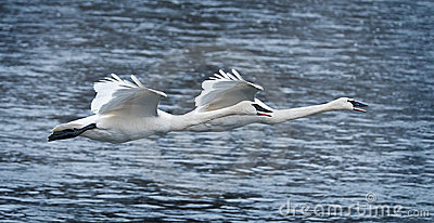 Pair of Trumpeter Swans Fly Over River