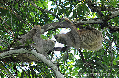 Pair of two toe sloths in tree, costa rica