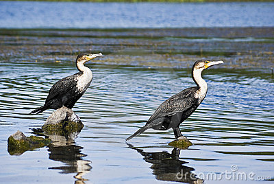 Pair of White-breasted Cormorants