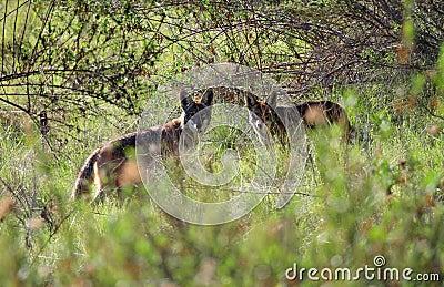 Pair of Wild Coyotes