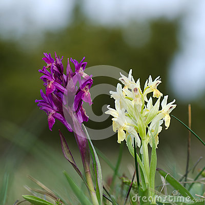 Pair of wild orchids