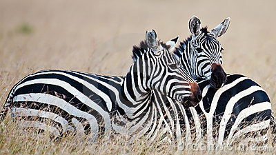 Pair zebras on the savannah