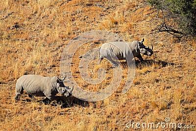 Paires de rhinocéros blanc