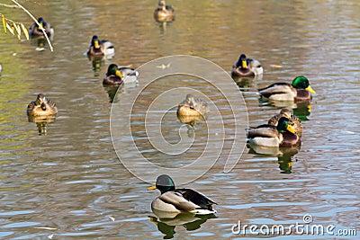Pairs of ducks