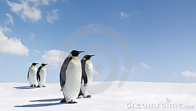 Pairs of emperor penguins