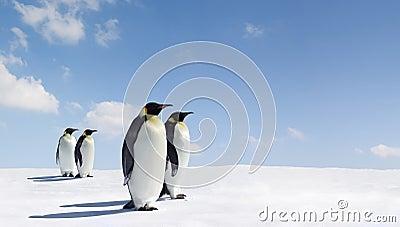 Pairs of emperor penguins