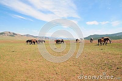 Paisagem do Mongolian com cavalos selvagens