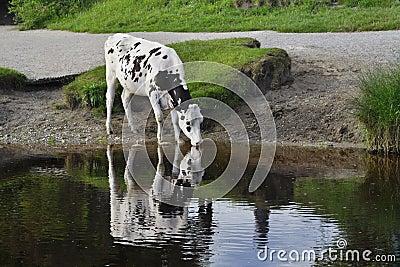 Paisagem inglesa do campo: rio, fuga, vaca