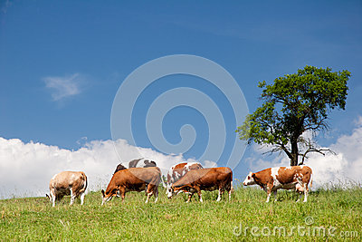 Paisaje del verano con las vacas