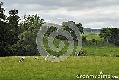 Paisaje inglés del campo: colinas, rastro, vacas