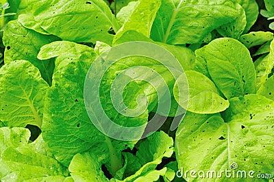 Pakchoi cabbage