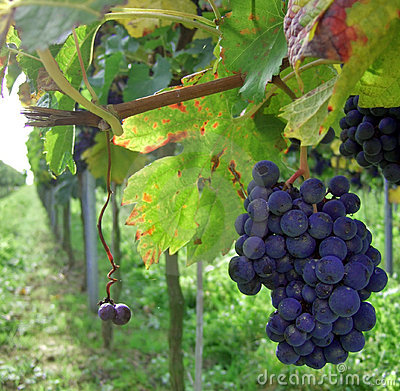 Free Palatine Vineyard In Germany Stock Photography - 9780002