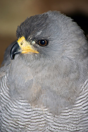 Free Pale Chanting Goshawk Stock Images - 10156674