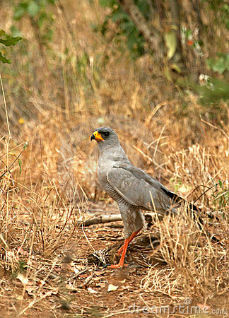 Pale chanting-goshawk with prey