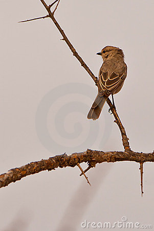 A Pale Flycatcher