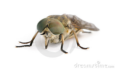 Pale giant horse-fly in front of white background