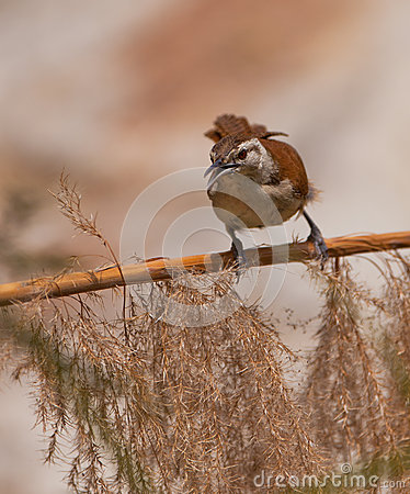 Pale-legged Hornero bird on branch